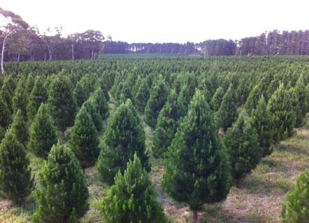 christmastreeplantation